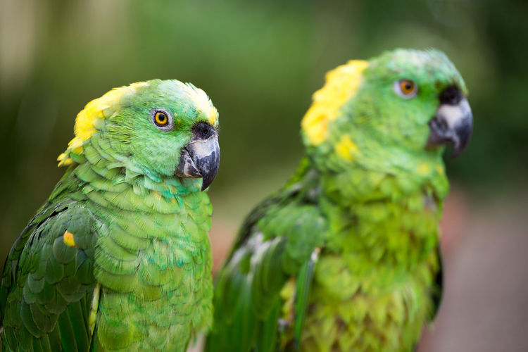 Close-up of yellow-crowned amazons