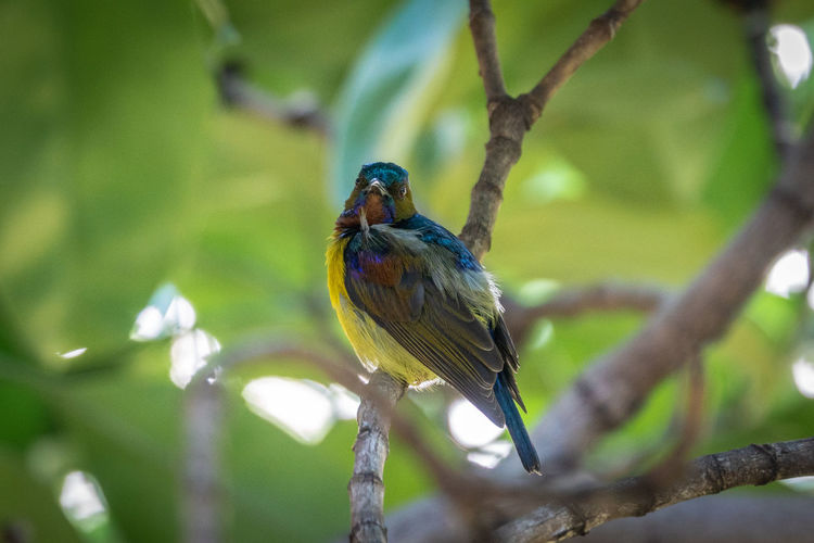 Brown-throated