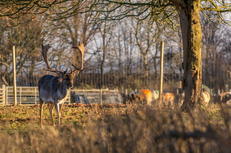 Deer on grass against trees during sunset