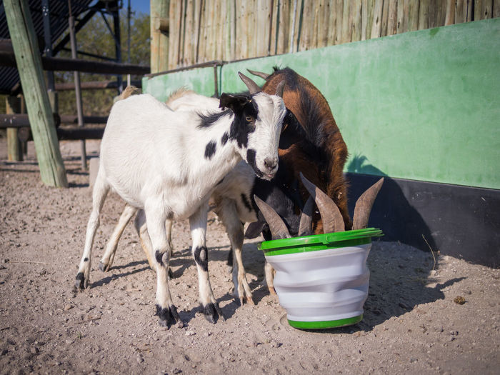Goats drinking out of plastic bucket, botswana, africa