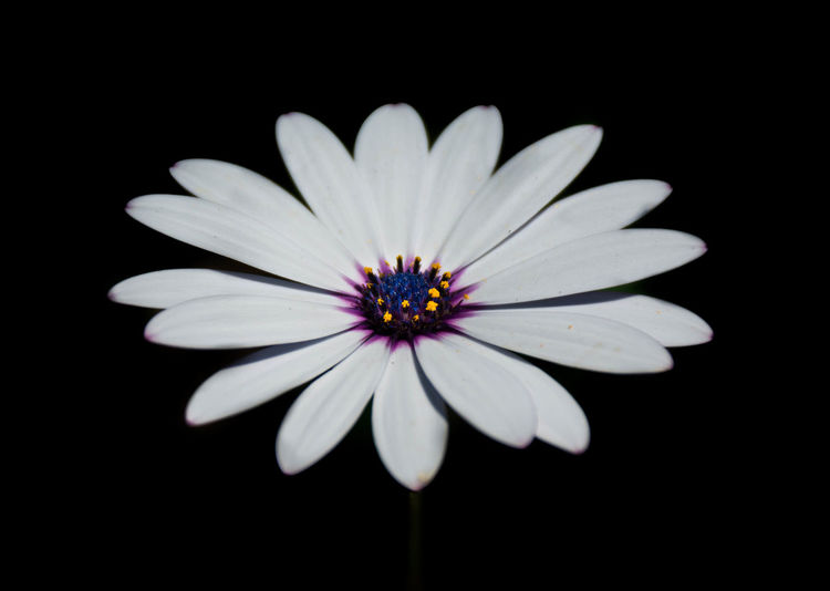 Stand Out Beauty In Nature Black Background Close-up Flower Flower Head Fragility Nature Petal Single Flower Softness