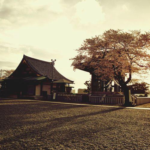 Sakura Cherry Blossoms Tokyo,Japan Temple Japonism