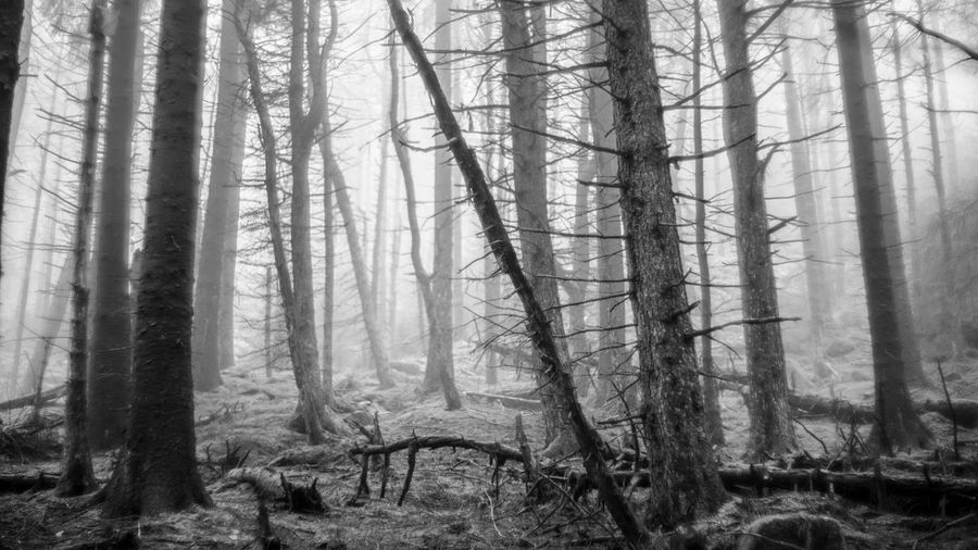 Tree Wilderness Area Forest Tree Trunk Forest Fire Branch Power In Nature WoodLand Pine Tree Hazy  Pine Woodland Birch Tree Fog Dawn Foggy Tree Area Mist Pine Wood