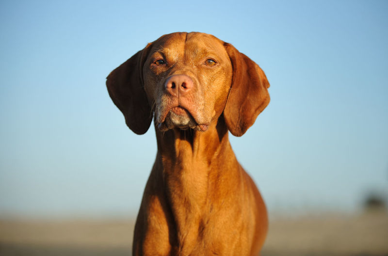 Vizsla dog Animal Themes Clear Sky Day Dog Domestic Animals Focus On Foreground Hunting Dog Looking At Camera Mammal Nature No People One Animal Orange Outdoors Pets