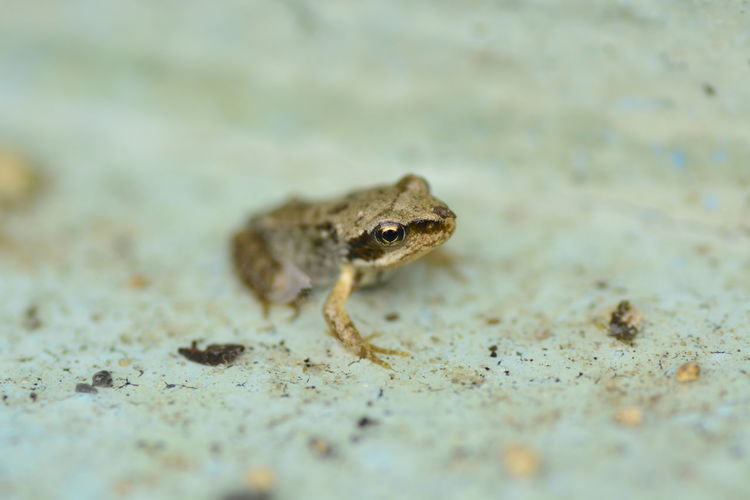 Animals In The Wild Baby Frog Close-up Day Frog Nature One Animal Outdoors Selective Focus