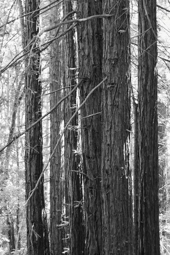 Forest Tree Tree Trunk Day Nature Outdoors No People WoodLand Growth Bare Tree Beauty In Nature Branch Conifers Landscape Trunk EyeEm Best Shots - Landscape Tree Forest Walk Black And White Black And White Photography Plant Shadow Hiking Dark And Light Shadow And Light