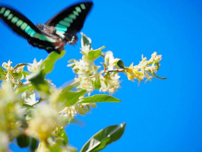 希望の空へと…… アオスジアゲハ 蝶々 Butterfly Collection Butterfly - Insect Insect Collection 空 Sky_collection My Point Of View EyeEm Best Shots EyeEm Gallery Eyemphotography EyeEm Nature Lover