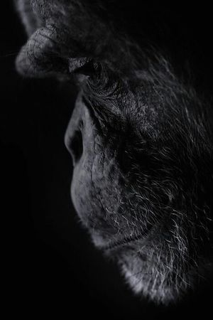 Chimpanzee Blackandwhite Amazing Animal