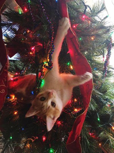Kitty Upside Down Cat Kitten Christmas