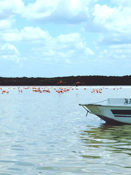 Celestun Flamingo Reserve in Celestun, Yucatan. Mexico Celestun Progreso Yúcatan Yucatan Mexico Flamingo Flamingos Flamingos In Water Flying Flying Flamingos Pink Blue Boat Ria Water Birds Waterfront Lake Lake View
