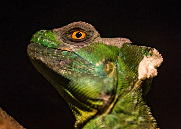 Animal Animal Eye Animal Head  Animal Themes Black Background Close-up Green Color Iguana Lizard One Animal Reptile