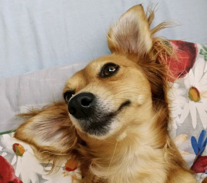 Animal Themes AntiM Close-up Day Dog Dog In Bed Dog Laughing Dog Smiling Dogs Of EyeEm Dogs Portrait Dogs Smiling Dogslife Domestic Animals Happy Dog Indoors  Mammal No People One Animal Pets SweetSally