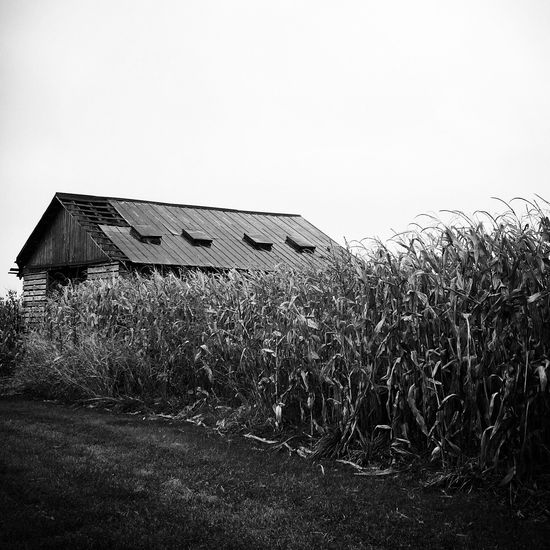 Corn, Green, Farm, Farming, Sky, Blue Sky, Rural, Farm Land Wheat, Farm, Farmland, Crop, Ohio, Summer, USA, Barn, Sky, Black And White, Farm, Farming, Field, Cloud, Clouds, Corn
