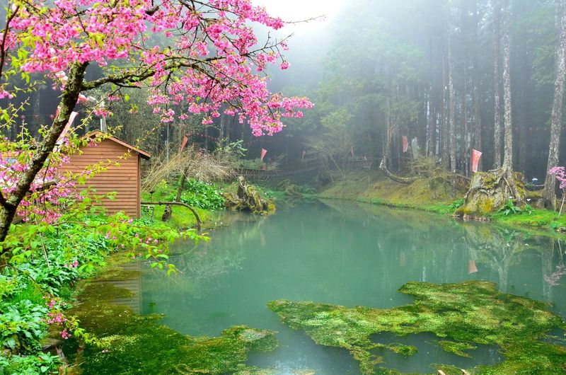 Cherry Blossoms Fog Green Lakeshore Mist Moss Peach Blossom Pond Tree Water Landscape With Whitewall Landscapes With WhiteWall Ali Mountain Nantou,Taiwan Feel The Journey