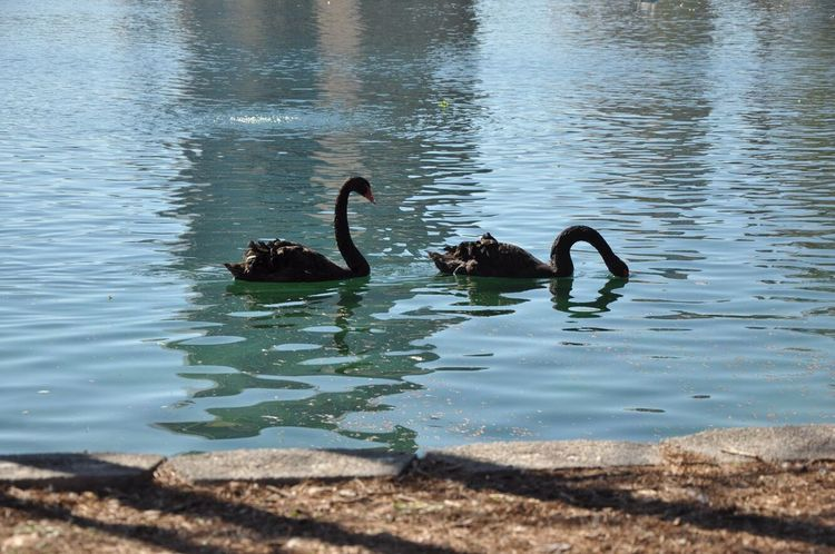 Animals In The Wild Summertime Sommergefühle Water Bird Lake Swimming Animal Wildlife Nature Animal Themes Black Swan Swan Beauty In Nature Lake Eola Eola Park No People Outdoors Day Couple Swimming Water Bird Beautiful Day
