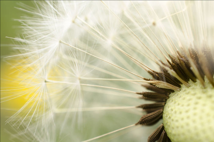 This Dandelion was standing next to the road when I shot this picture. Backgrounds Botany Close-up Dandelion Dandelionseed Detail Elégance Fragility Freshness Growth Light Macro Macro Photography Natural Pattern Nature Nature Photography Summer White