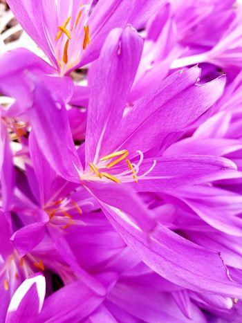 EyeEm Selects EyeEm Best Shots EyeEmNewHere EyeNatureLover Flower Head Flower Backgrounds Full Frame Pink Color Petal Beauty Multi Colored Close-up Plant Pistil Day Lily Botany Crocus Blossom