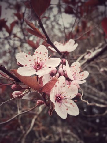 Cherry Blossom Flower Nature Growth Fragility Beauty In Nature Tree Freshness Blossom Flower Head Springtime Outdoors Plum Blossom