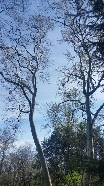 Sycamores Tree And Sky Bidwell Park Killing Time Look Up Share What You See Nature's Splendor Spring Chico, California What's Happening In Your Area Noedit #nofilter What's Happening In Your Town Appreciate Simple Capture Not Very Difficult