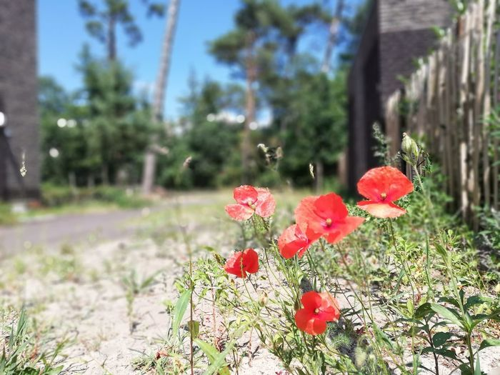 Urban wilderness - poppies EyeEm Nature Lover Nature Green Urban Urban Wilderness Poppy Wildflower Plant Life Blooming
