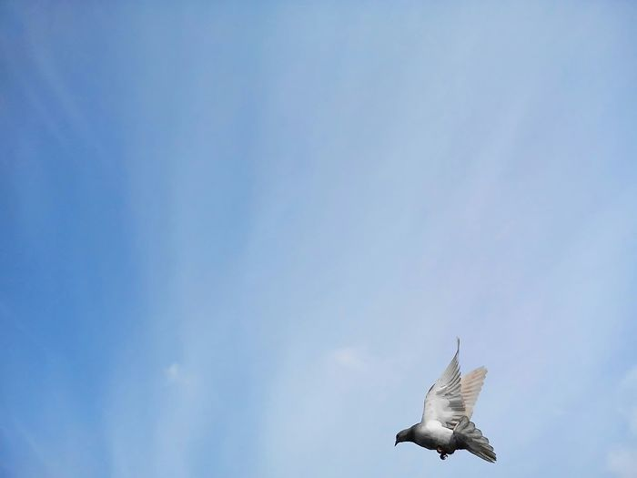 Low Angle View Of Pigeon Flying In Sky