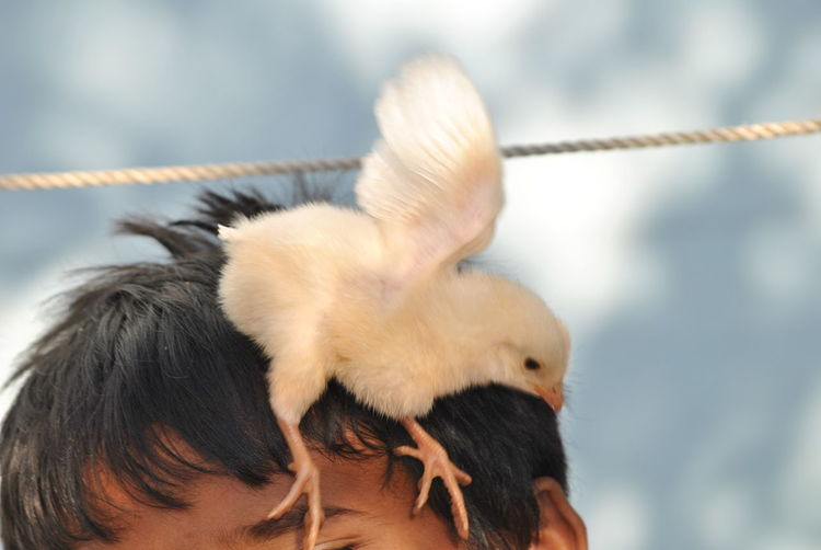 Close-Up Of Baby Chicken Flapping Wings On Boy Head
