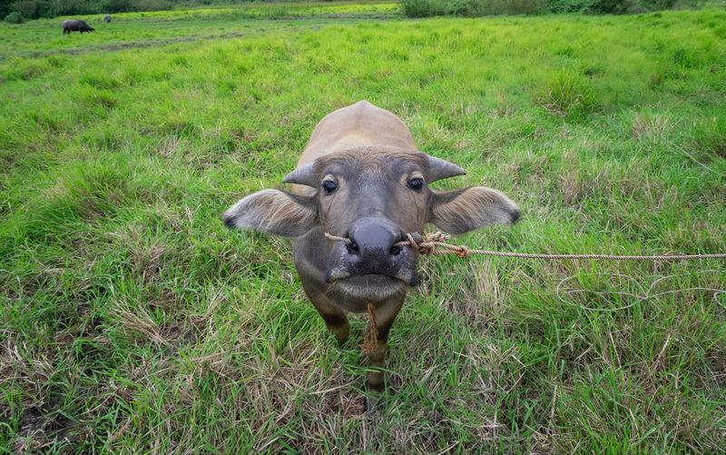 Thai buffalo in