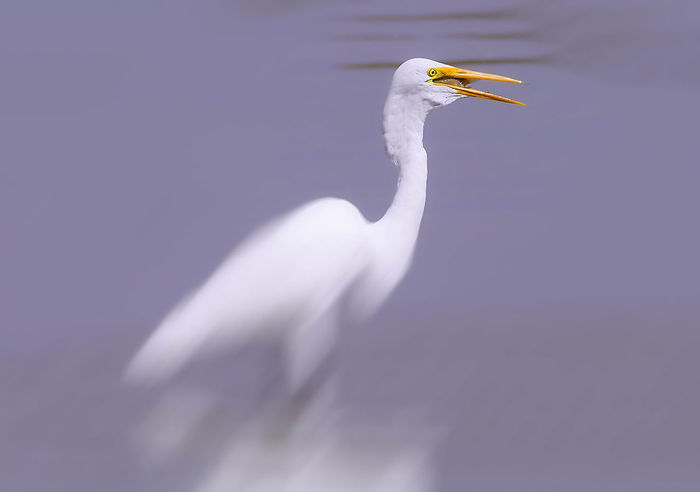Great Egret with Feed in mouth Animal Themes Animal Wildlife Animals In The Wild Bird Egret Great Egret No People One Animal
