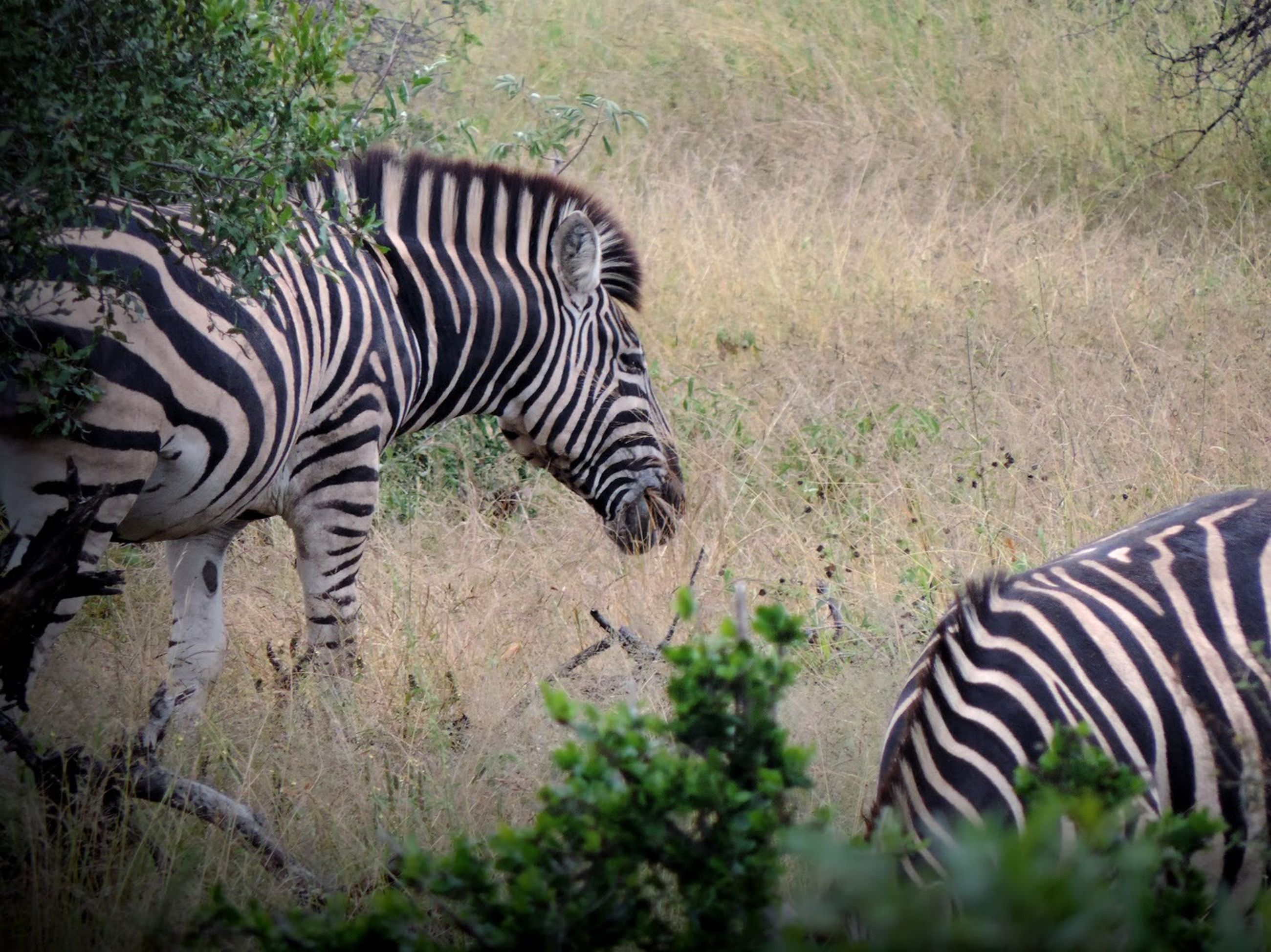 striped, zebra, animal, animal themes, animal wildlife, mammal, animals in the wild, plant, safari, nature, vertebrate, no people, natural pattern, one animal, tree, animal markings, domestic animals, land, outdoors, herbivorous