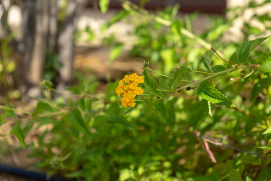 Plant Flowering Plant Flower Growth Beauty In Nature Freshness Close-up Nature Fragility Vulnerability  Green Color Selective Focus Day Plant Part Leaf Yellow No People Outdoors Petal Inflorescence Flower Head Lantana