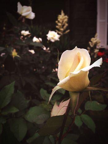Rose🌹 Rose Garden バラ祭り 旧古河庭園 秋 Autumn