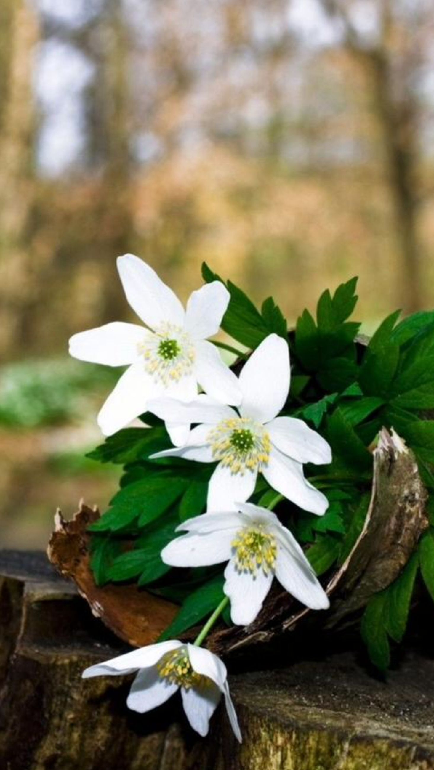 flower, petal, white color, freshness, fragility, flower head, growth, close-up, beauty in nature, focus on foreground, nature, stamen, pollen, leaf, plant, blooming, white, in bloom, blossom, high angle view