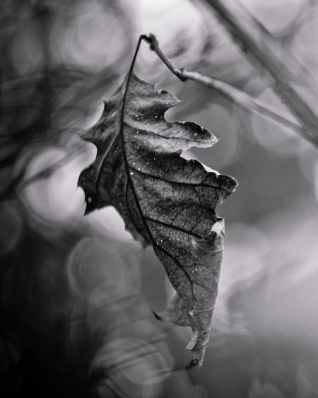 Blackandwhite Black & White Blackandwhite Photography Exceptional Photographs Silhouette EyeEm Nature Lover Poland Bokehlicious Bokeh Lights Bokeh Love Minimal Fragility Forestwalk Leaf Close-up Wilted Plant Leaves Wilted Change Dead Plant