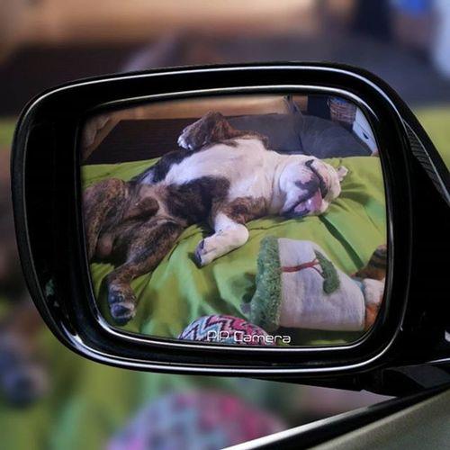 Relax Deadweight Splat Dog Bully EBD Mybulldogiscuterthanyours Chokeoutcancer Chokeouttv Diesel