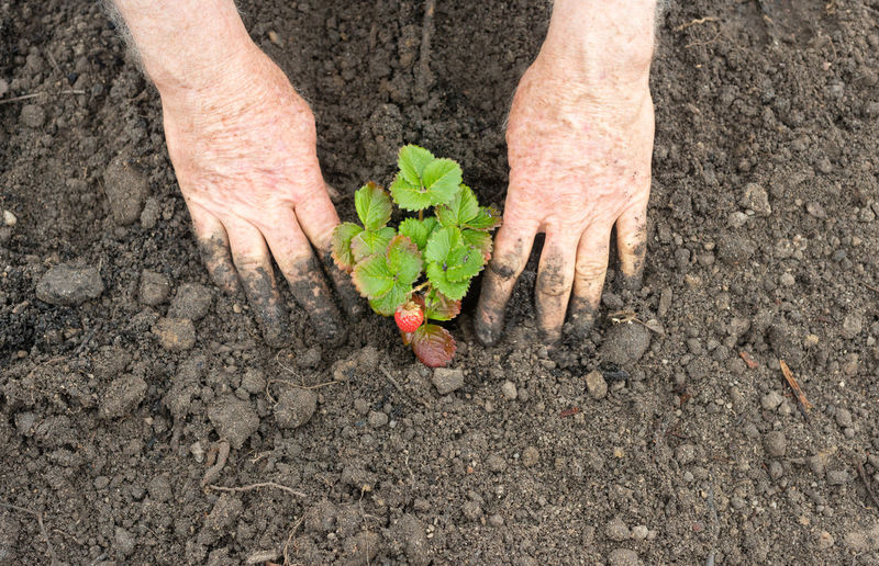 Cropped Hands Of Person Planting Strawberry Sapling On Field