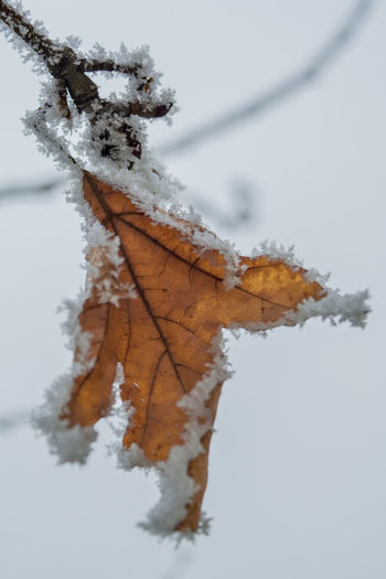 Close-Up Of Frozen Maple Leaf During Winter