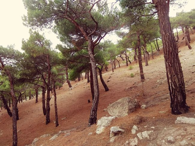 Nothing more. Just pines Tree Nature Growth Outdoors Day Beauty In Nature No People Sand Branch Tree Area Sky Crimea Mountain Pinetrees🌲 Plants Botany Nature Low Angle View