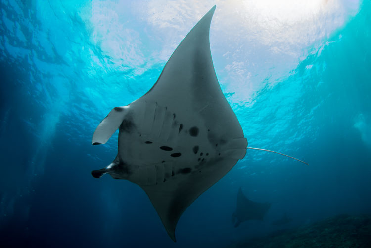 Manta Ray - Nusa Penida Bali Cleaning Diving Fly Holiday Manta Ray SCUBA Scuba Diving Snorkeling Swimming Travel Vacations Glide Manta Ray Nature Photography Reef Sea Sea Life Swimming UnderSea Underwater underwater photography Wildlife