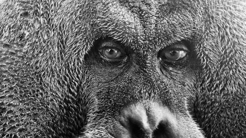 Borneanorangutan Great Ape Orangutan Black & White Eyes Wisdom Sorrow Enslaved The Portraitist - 2016 EyeEm Awards EyeEm Best Shots - Black + White Nature's Diversities Maximum Closeness