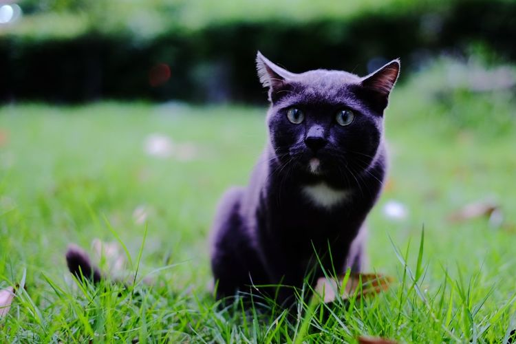One Animal Looking At Camera Animal Pets Portrait Grass Black Color Mammal Domestic Animals Outdoors No People Animal Themes Nature Close-up Day Black Cat Photography Black Cat