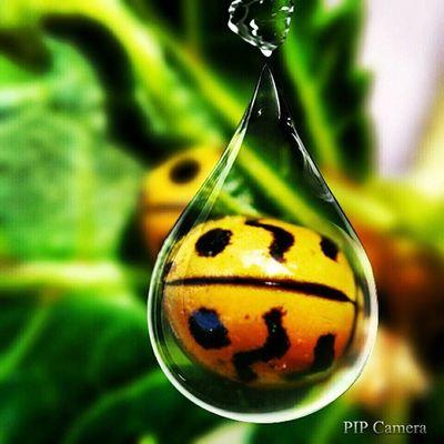 Pipcamera PIPcameraAndroid Ladybug
