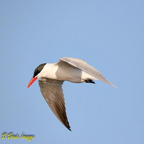 Caspian Tern I found flying around at Wendy Park Thanks to @kellyephotography for the ID Caspiantern Tern LakeErie Ohiobirding Wildlife Nature Kings_birds Wendypark Ig_discover_wildlife TeamCanon Tamron150600mm Waterbird Bestbirdshots Jr_lovebirds