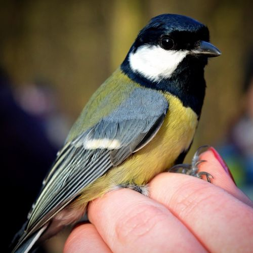 Close-Up Of Great Tit Perching On Hand