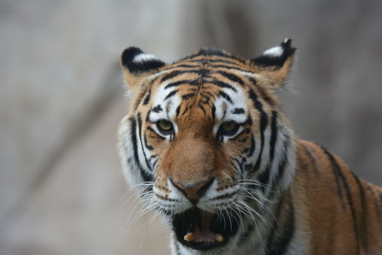 Close-up portrait of a tiger