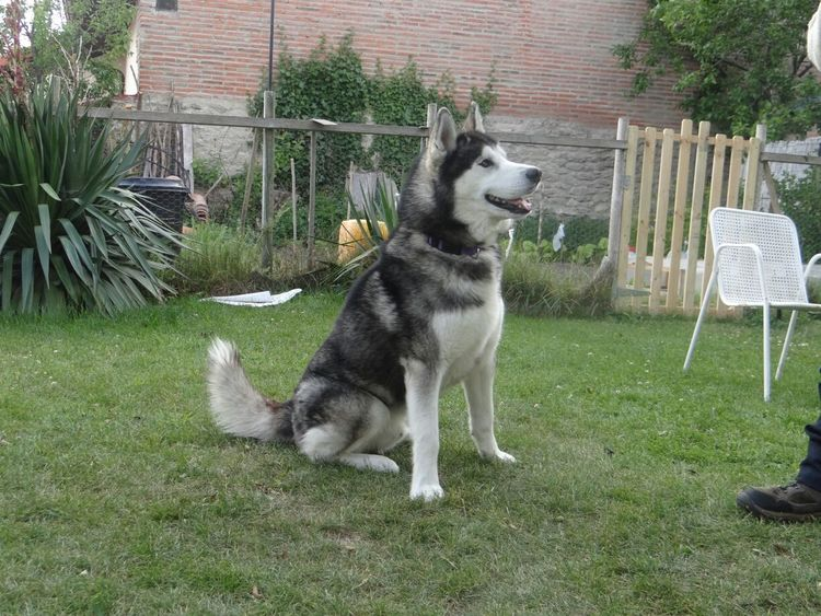 Husky Siberian Husky Dog Animal Love