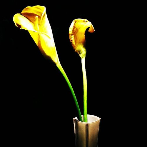 Beauty Flower Nairobi Olesereni webstagram statigram photography Ihavenoideawhatitscalled yellow lowlight natural instacanvas detailed