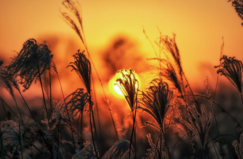 Sunset over the fields of silver grass in haneul park, seoul, south korea Beauty In Nature Close-up Day Field Fields Flame Grass Grass Growth Korea Landscape Nature No People Outdoors Plant Reed Reed - Grass Family Reeds Seoul Silver Grass Silver Grass Field Sky Sun Sunbeam Sunset Tall Grass