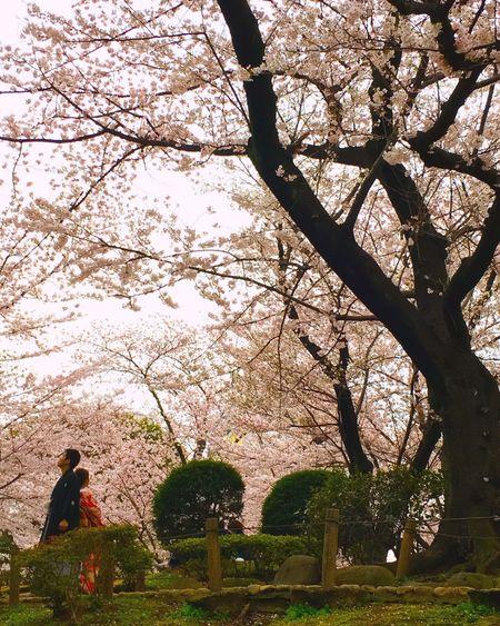 Japan Sakura Cherry Blossoms PhotoWedding Wedding Kimono Japanese Style Wasou
