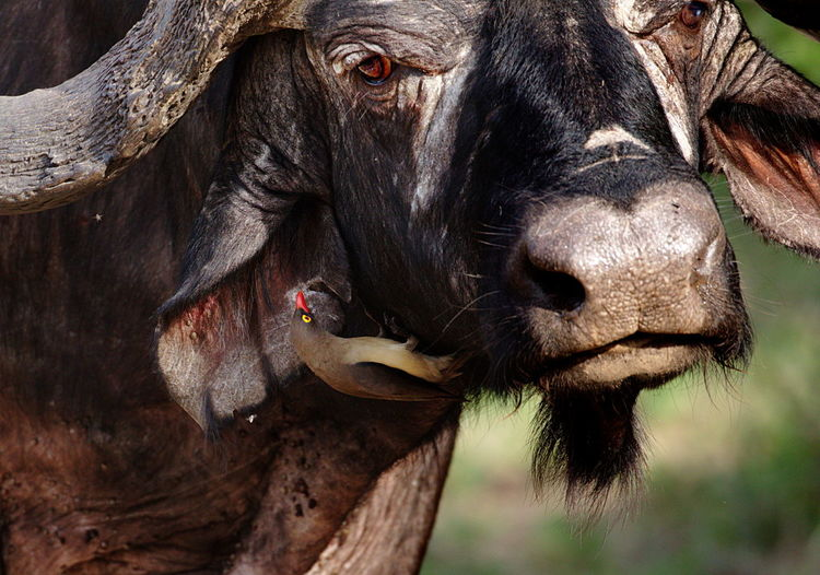 Close-up of bird on cape buffalo