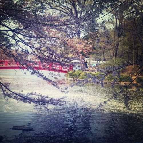 臥竜公園。 臥竜公園 桜 Cherry Blossom Park First Eyeem Photo